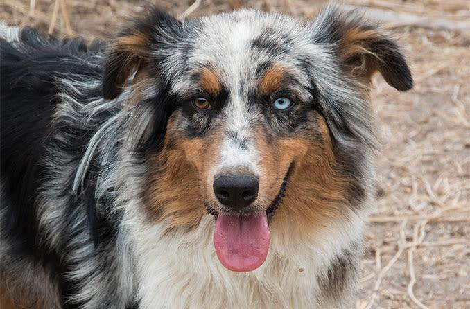 Australian Shepherd dog with heterochromia
