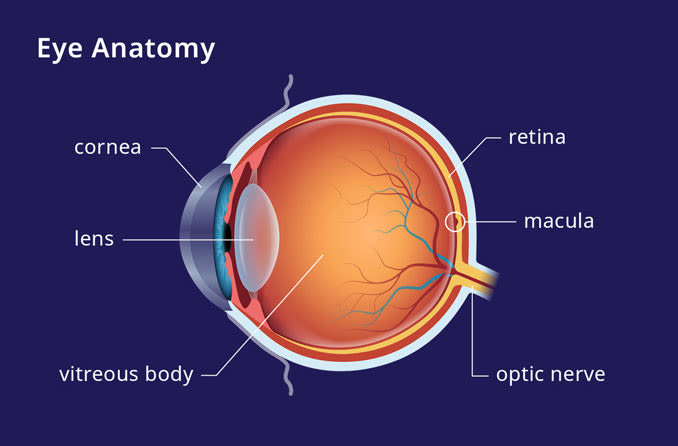 eye anatomy illustrating where the macula is located on an eyeball