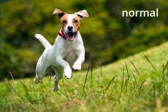 Jack Russell (normal)