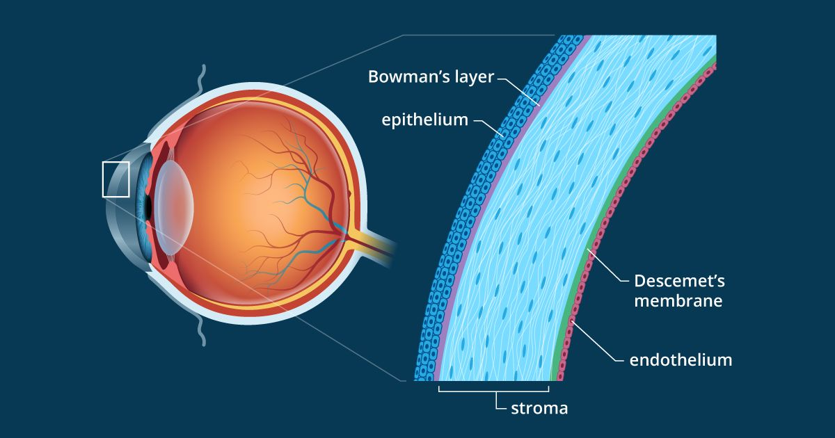 Illustration of cornea anatomy