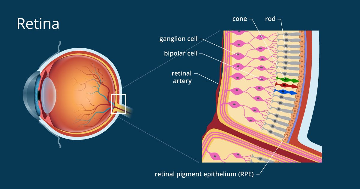 Illustration of retina anatomy