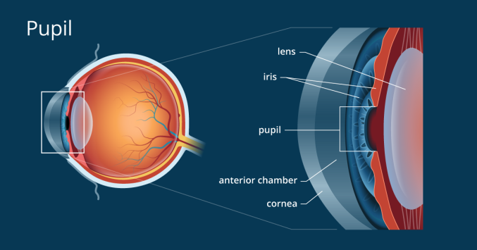 Anatomical drawing of the pupil of the eye.