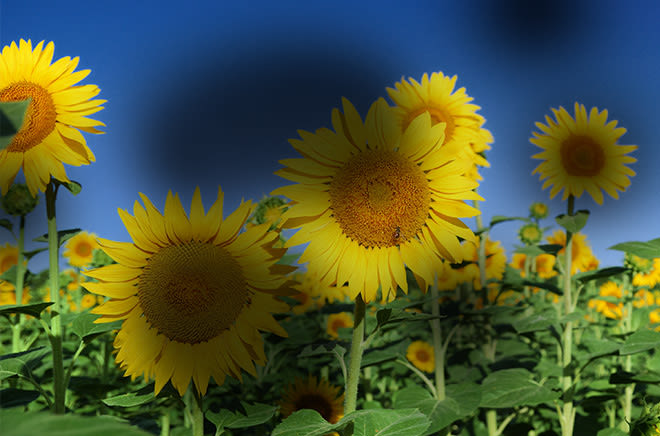 effects of diabetic retinopathy on an image of sunflowers