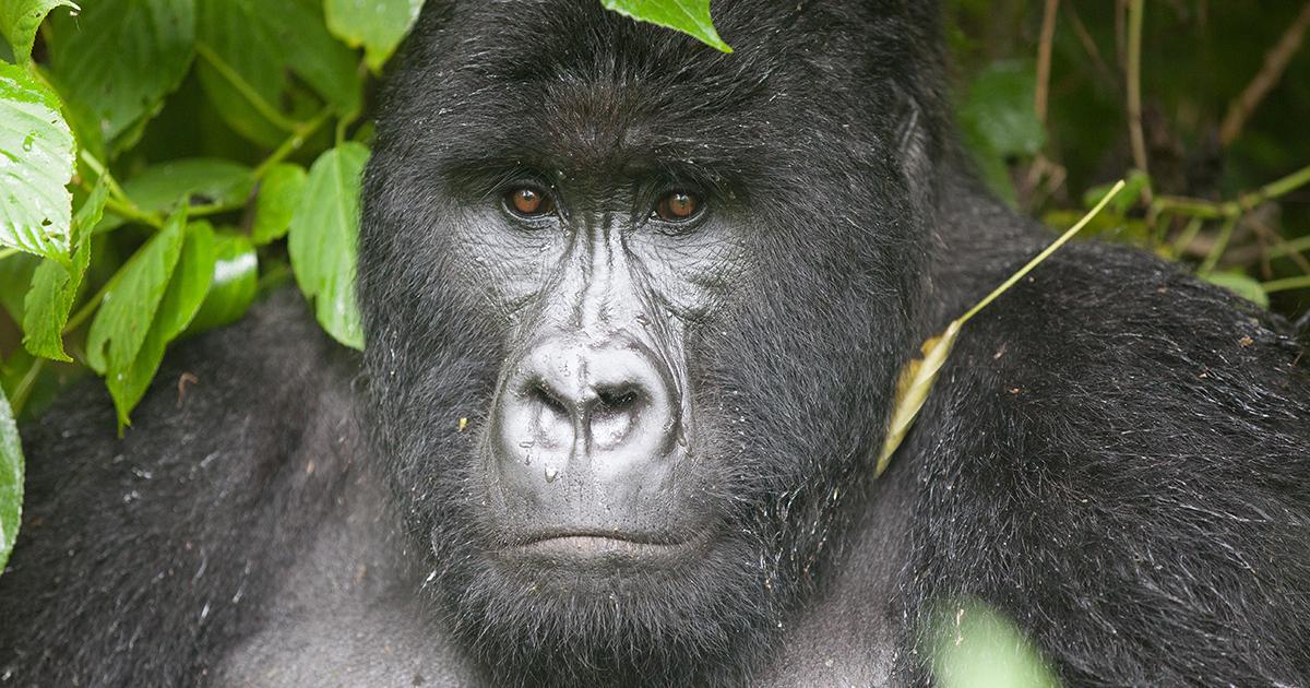 bc75c961dd About   Virunga