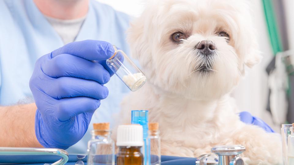 Vet holding medications for a little maltese dog