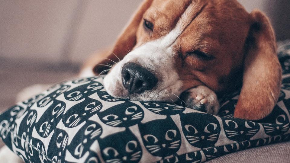 Beagle resting head on pillow