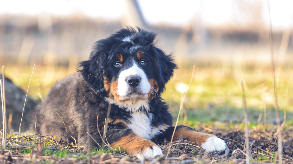 Bernese Mountain Dog puppy laying in field
