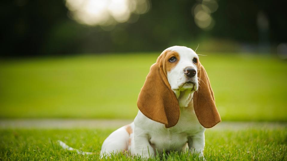 Basset Hound puppy sitting outside in sun