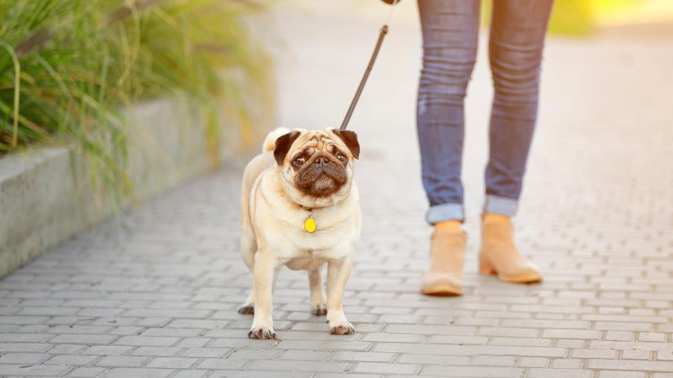 Woman walking Pug dog