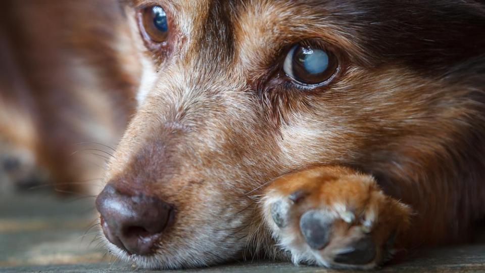 dog with cataract on left eye