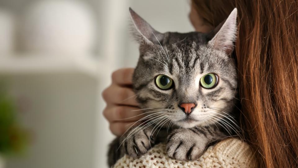 Pet cat looking over owner's shoulder