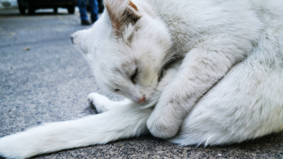 White cat cleaning rear end with tongue