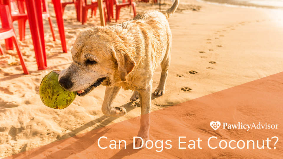 Dog holding coconut in mouth on beach