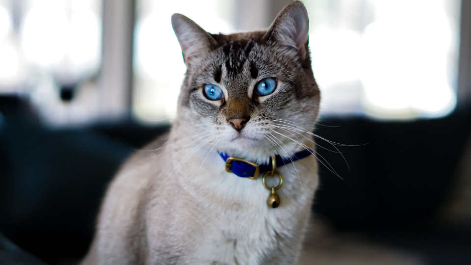 Cat with blue eyes and blue collar