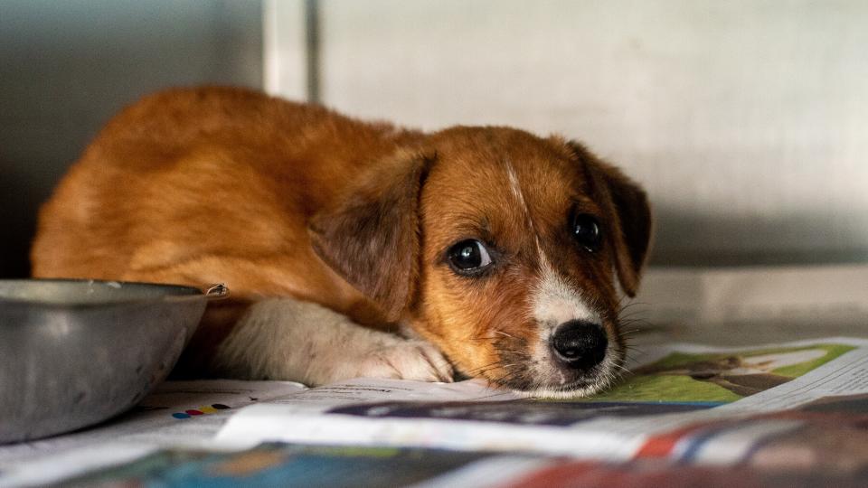 sad puppy with parvo