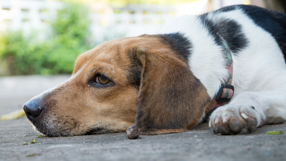 Beagle dog laying on floor in pain