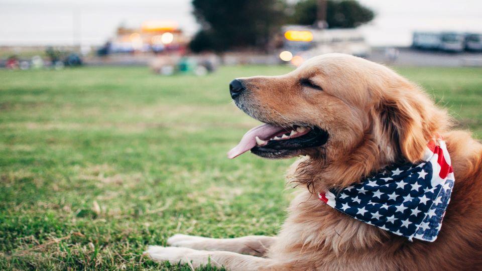 Golden Retriever with American bandana
