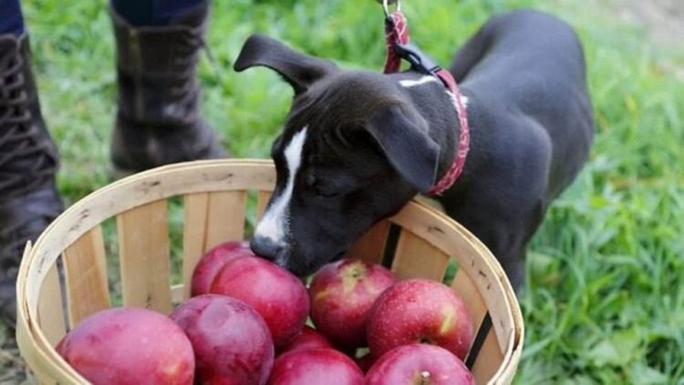 dog sniffing apples
