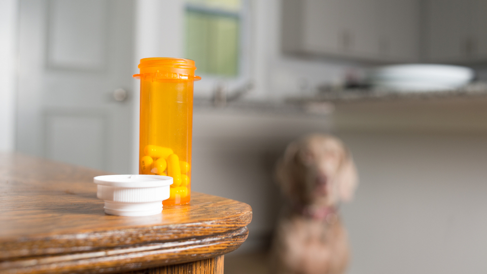 Dog waiting to take prescription medication pills