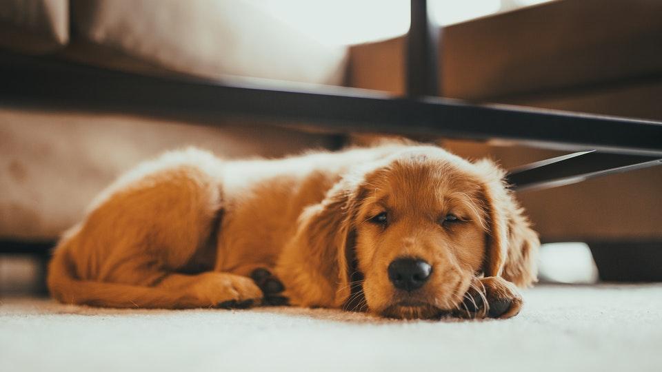 Golden Retriever puppy resting on floor