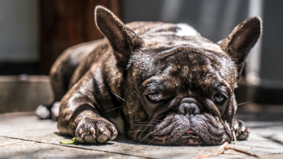 French bulldog with upset stomach laying on ground
