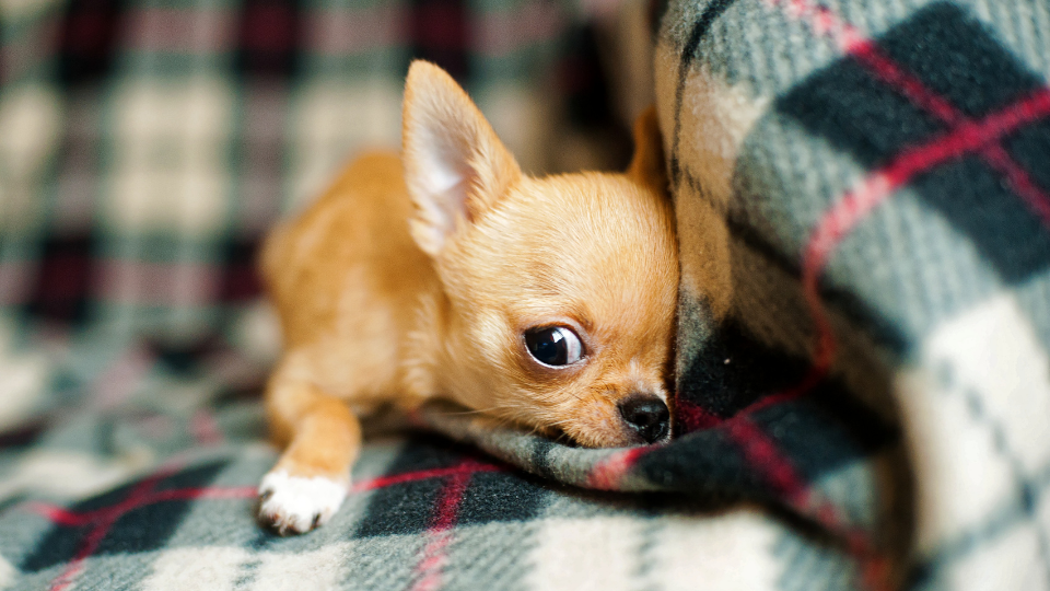 growing chihuahua puppy