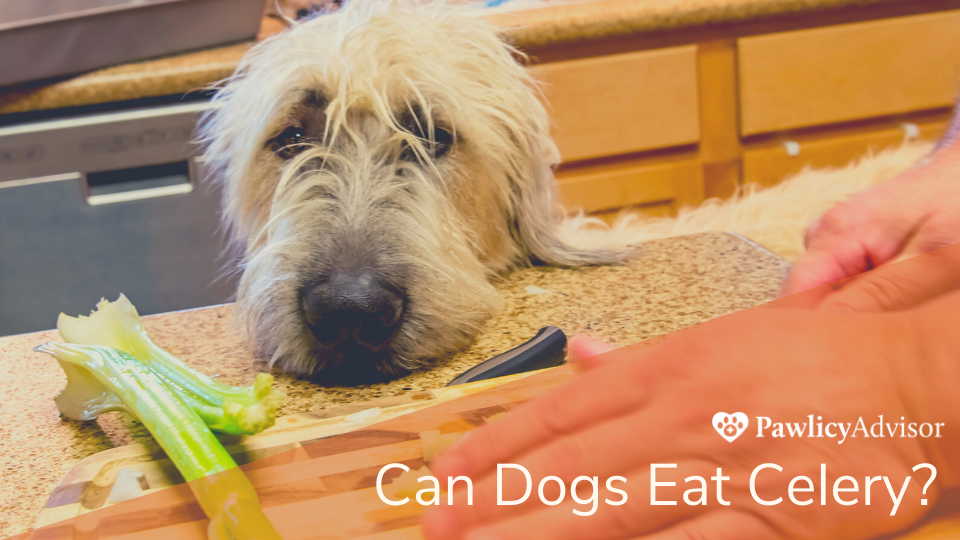 Dog looking at celery on kitchen counter