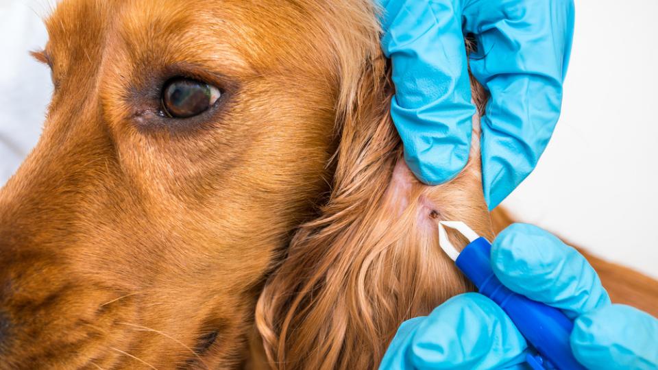 dog having tick removed
