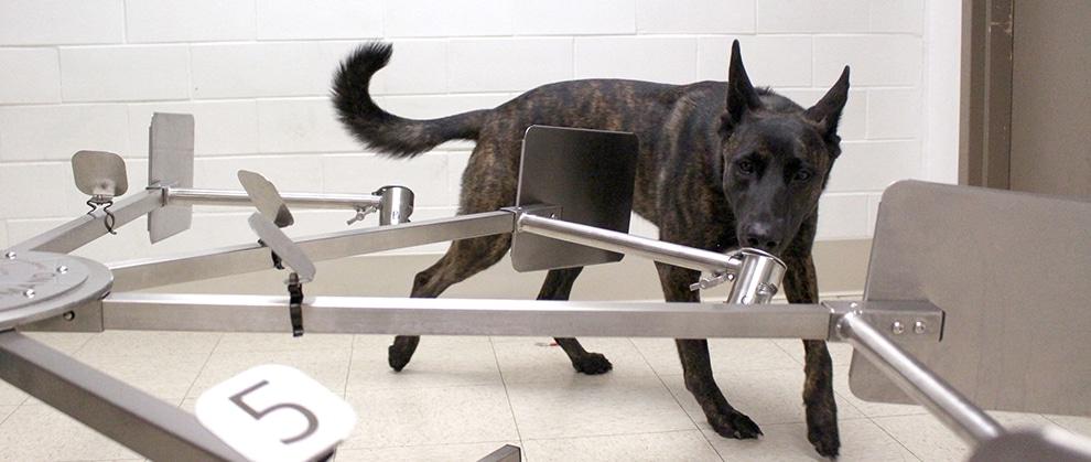 canine scent detection training at penn vet
