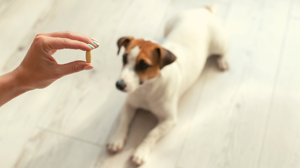 Hand holding pill tablet above dog