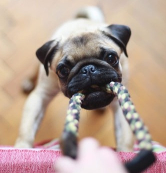 pug puppy playing with rope