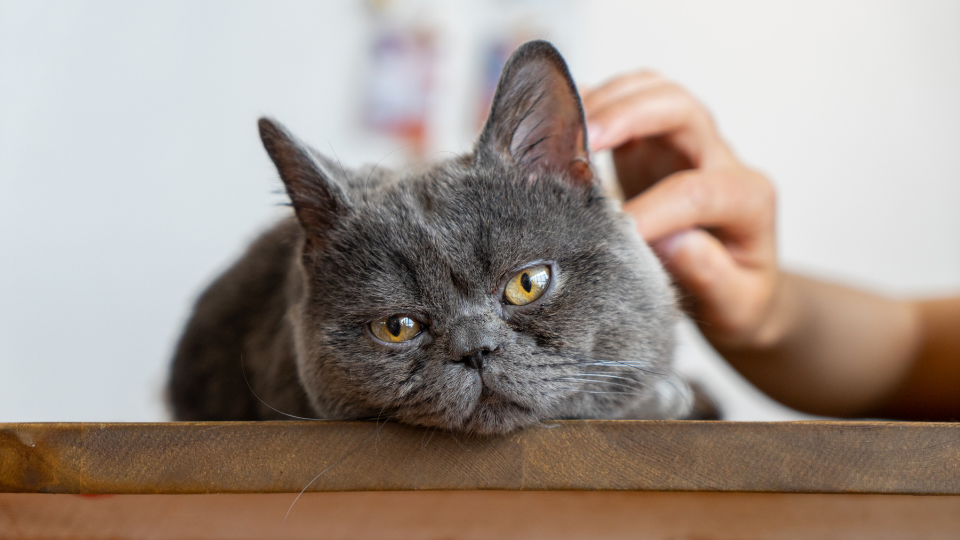 Gray cat receiving pet and appearing to be sick