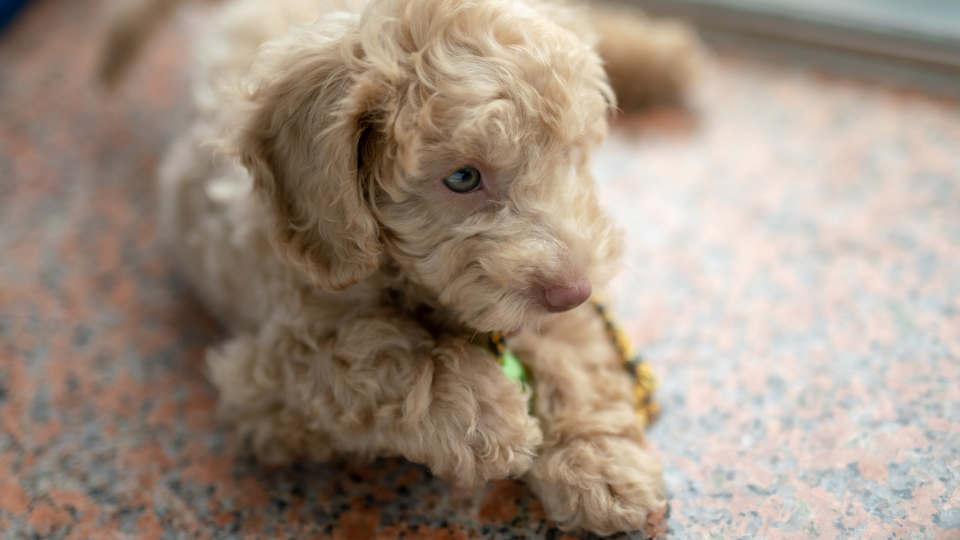 poodle puppy playing on the floor