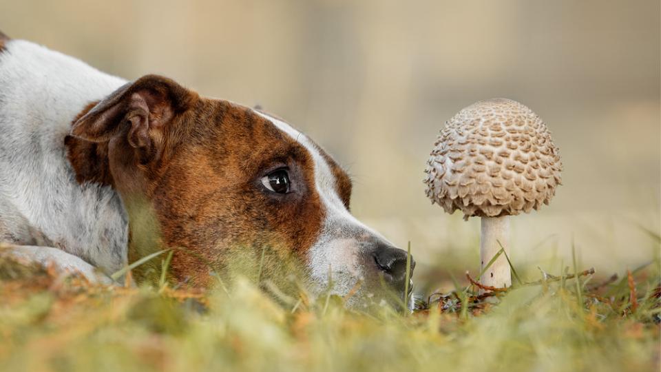 dog looking at a wild mushroom