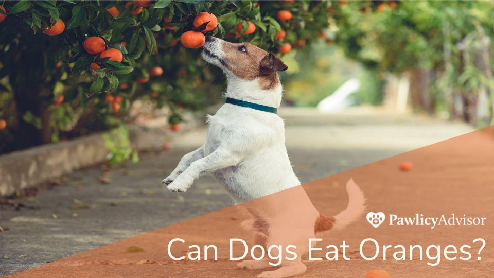 Jack Russel dog grabbing orange from tree