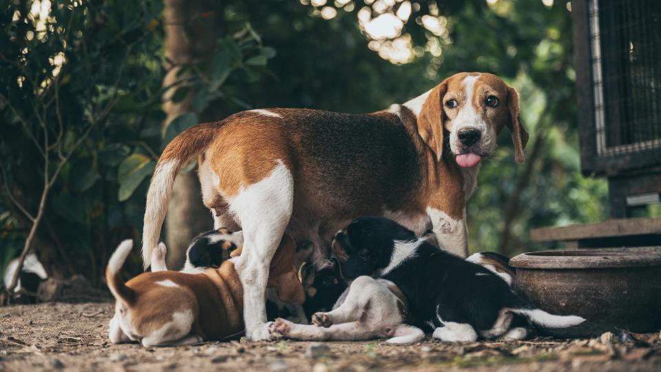 Beagle dog nursing her puppies outdoors