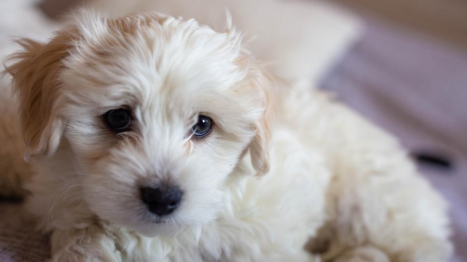 Maltese puppy close-up