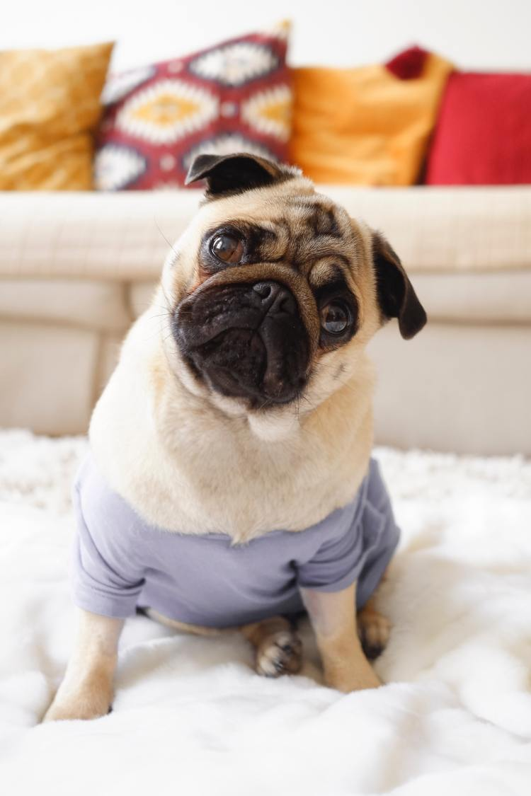 Concerned Pug in pale purple sweater.