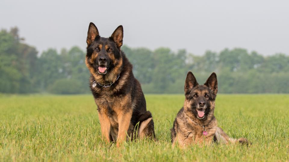 Two German Shepherds in grass field