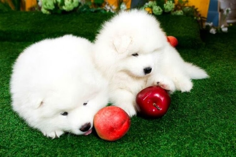 two puppies with apples
