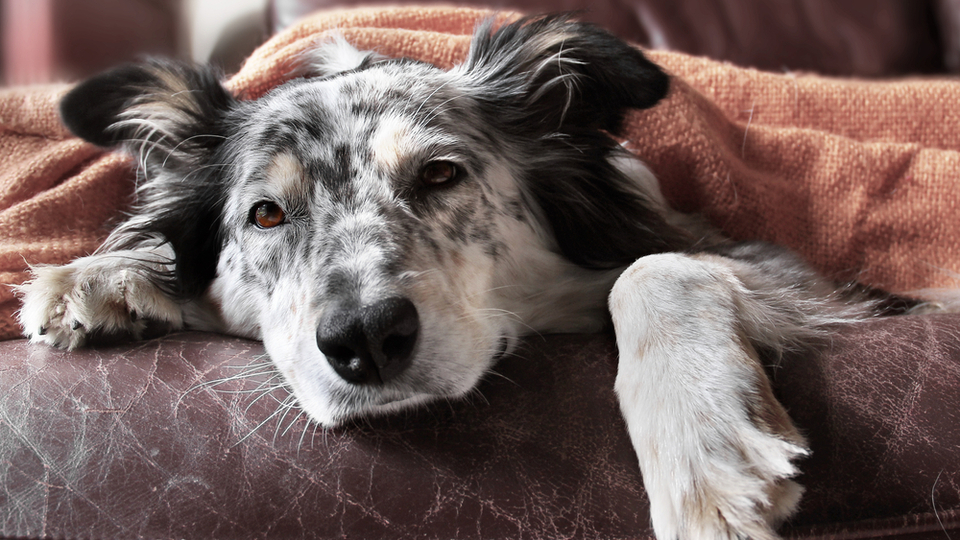sick dog lying on couch