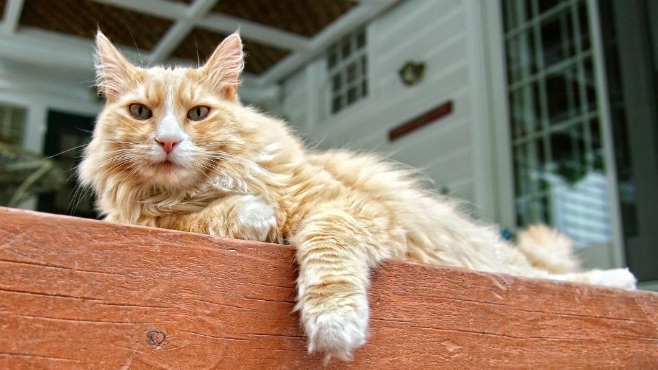 Orange long-haired house cat resting on post