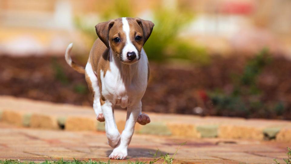 Greyhound puppy running toward camera