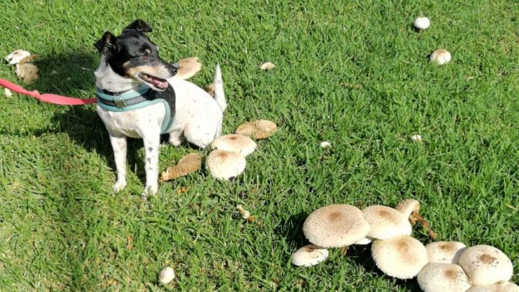 dog surrounded by mushrooms in grass
