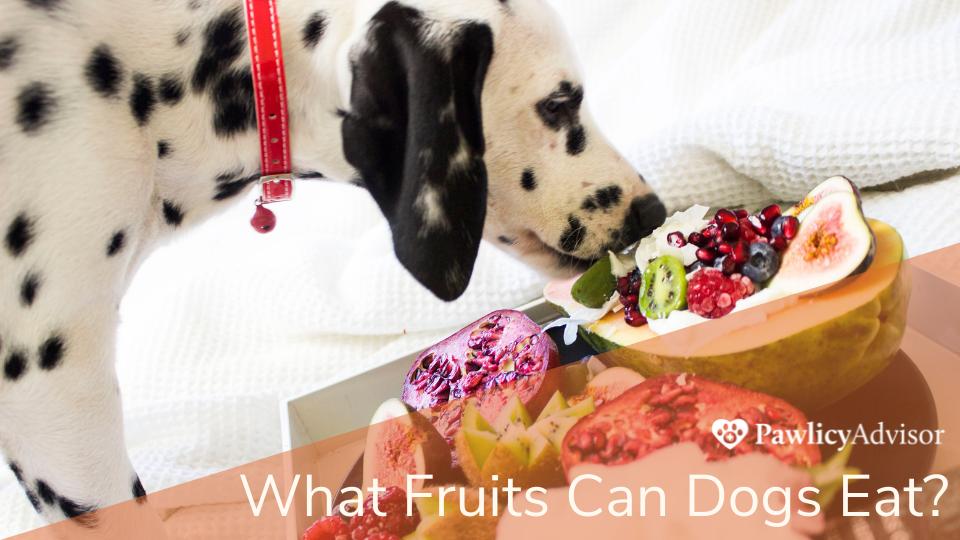 Dalmatian dog eating fruits on table