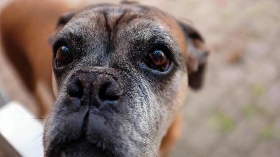 Senior boxer dog