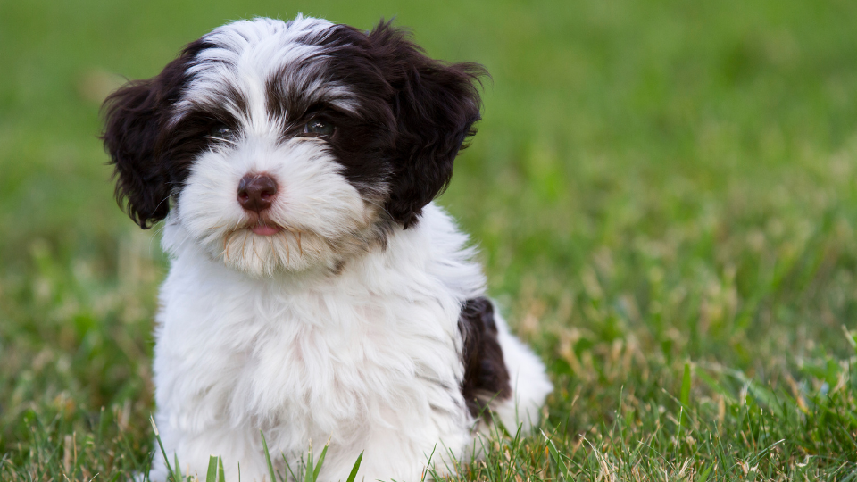 Havanese puppy with black and white spots