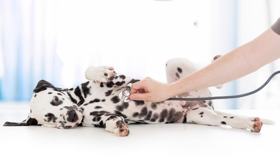 Puppy Dalmation at a veterinary checkup.