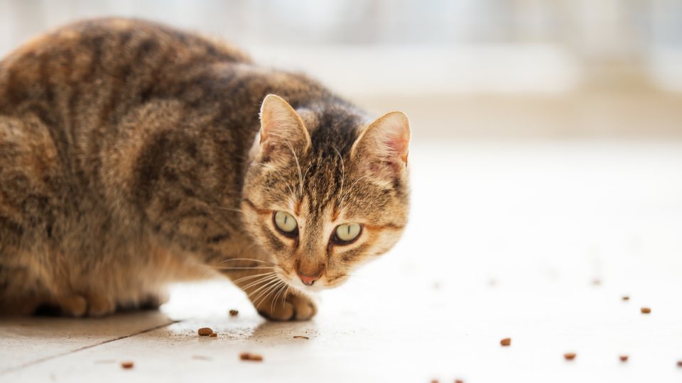 Cat staring at food on the floor