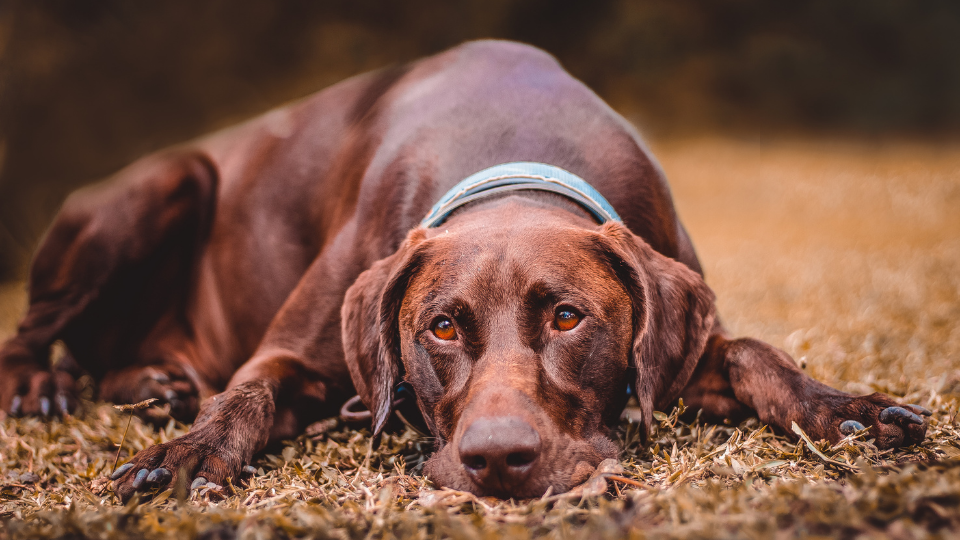 Brown pointer dog resting head on the ground